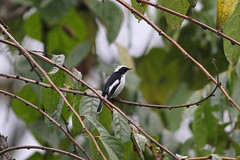 Little Pied Flycatcher, Mishmi Hills, Arunachal Pradesh, India, April 2013 (Sterna999) Tags: mishmihills india bird nature river wildlife hills fluss indien vogel arunachalpradesh flus littlepiedflycatcher
