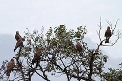Black Kites roosting, Mishmi Hills, Arunachal Pradesh, India, April 2013 (Sterna999) Tags: blackkite mishmihills arunachalpradesh india indien river fluss flus nature hills wildlife bird vogel