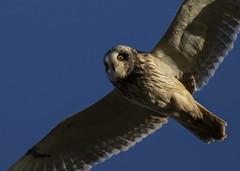 Short-eared Owl (Ann and Chris) Tags: owl sky close wildlife nature shortearedowl