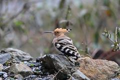 Common Hoopoe, Mishmi Hills, Arunachal Pradesh, India, April 2013 (Sterna999) Tags: india bird nature river wildlife hills fluss indien vogel arunachalpradesh flus mishmihills commonhoopoe