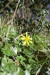 Photo of Lesser Celandine in the hedgerow at Sarratt