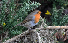 ROBIN at PAXTON NR (11birdman11) Tags: birds britishbirds butterflies bugs moths mammals