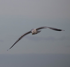 Seagull (Jean Marie Boulogne) Tags: oiseau oiseaux bird birds seagull seagulls nature life beach beachs sky coteopale plage letouquetparisplage