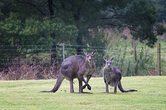 Kangaroo expresses opinion (juanita nicholson) Tags: wild wildlife kangaroo mother young outdoors wet rain tongue fence posing stare staring