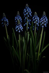 Blue Magic (josephzmuda2) Tags: closeup fineart stilllife pennsylvania pittsburgh nature plants flowers botanical flora floral flower plant macro hyacinth muscari