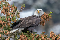 Photo Of The Month: Bald eagle by James Capo (Wild Planet Photo Magazine) Tags: issue 75 ak alaska baldeagle haliaeetusleucocephalus kachemakbay sadiecove usa birds conifer eagle perched homer unitedstatesofamerica