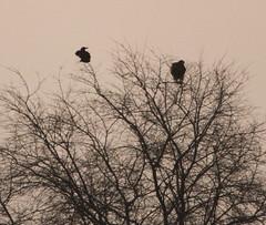 IMG_1027 (Christandl) Tags: kaiseradler adler burgenland nationalpark wildlife wildbirds wildlifephotographie