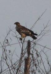 IMG_1003 (Christandl) Tags: kaiseradler adler burgenland nationalpark wildlife wildbirds wildlifephotographie