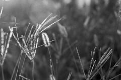 In the Morning (PositiveAboutNegatives) Tags: leica slr leicaflex leicaflexsl 50mm 50mmsummicronr leicar sunlight morning dawn film analog bw blackandwhitefilm foma fomapan fomapan100 rodinal vuescan