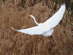 Great egret (Ardea alba,ダイサギ) (Greg Peterson in Japan) Tags: 野鳥 egretsandherons wildlife shiga yasu japan 滋賀県 野洲市 birds ダイサギ shigaprefecture