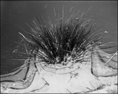 büschel (jo.sa.) Tags: eis schnee schwarzweiss schwarzweissfotografie analog analogefotografie natur gräser winter monochrom mittelformat 6x7 plaubel makina67 entwicklung rodinal fomapan400