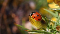 7-spot Ladybird (Coccinella septempunctata) (Alone again. Naturally.) Tags: ladybird gorse d7500