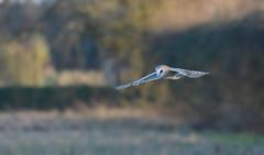 Barn Owl (KHR Images) Tags: barn owl barnowl tytoalba wild bird birdofprey flying hunting cambridgeshire fens nikon d500 wildlife nature kevinrobson khrimages