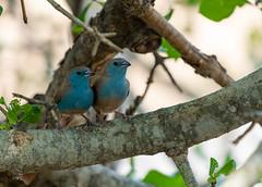 Cordonbleu de l'Angola (Le Méhauté Sébastien) Tags: cordonbleu de langola blue waxbill bird oiseau aves wildlife wild sauvage nature knp kruger south africa afrique du sud