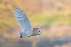 Barn Owl (KHR Images) Tags: barnowl barn owl tytoalba wild bird birdofprey hunting flying daylight sunshine cambridgeshire fens wildlife nature nikon d500 kevinrobson khrimages