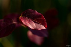 Winter color (takapata) Tags: macro nature leaves sony ilce7m2 sel90m28g