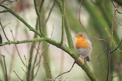 roodborstje (Hetwie) Tags: bird brouwhuis kanaal mist ochtend robin roodborstje vogel helmond noordbrabant nederland