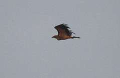 IMG_1010 (Christandl) Tags: kaiseradler adler burgenland nationalpark wildlife wildbirds wildlifephotographie