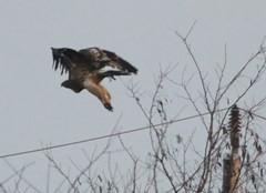 IMG_1007 (Christandl) Tags: kaiseradler adler burgenland nationalpark wildlife wildbirds wildlifephotographie