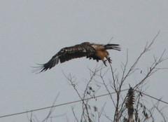 IMG_1004 (Christandl) Tags: kaiseradler adler burgenland nationalpark wildlife wildbirds wildlifephotographie