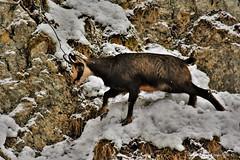 chamois (Rupicapra rupicapra) (111) (Didier Schürch) Tags: nature rocher animal mammifère chamois rupicaprarupicapra wildlife europe ngc switzerland nikkor d5500