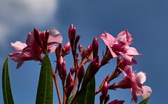 P1010047_cap2 (ugo michi) Tags: macro fiori
