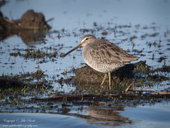 Long-billed Dowitcher (Limnodromus scolopaceus) (www.mikebarthphotography.com 2M Views thanks !) Tags: limnodromusscolopaceus longbilleddowitcher