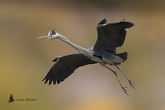 Garza real (Ardea cinerea) (jsnchezyage) Tags: garzareal ardeacinerea ave pájaro bird birding birdwatching ornithology feather birdinflight beak greyheron ngc npc