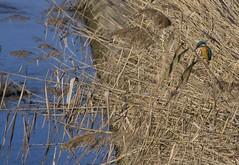 l'attesa (Angelo Petrozza) Tags: alcedo atthis martin pescatore metaponto basilicata uccello bird canale canal 55300f458 plm angelopetrozza pentax pentaxk70