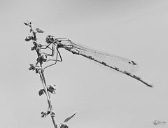 agrion (Eric Leroy Olympus Passion OMD & Pen) Tags: olympus omd em1 em5 mkii mkiii zuiko noir blanc white black wildlife wwwolympuspassionfr