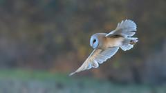 Barn Owl (KHR Images) Tags: barnowl barn owl tytoalba wild bird birdofprey cambridgeshire fens hunting flying wildlife nature nikon d500 kevinrobson khrimages