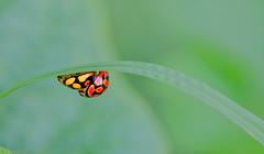 new meaning... (tdwrsa-2) Tags: canoneos70d ef100mmf28macrousm lunateladybird cheilomeneslunata bendingoverbackwards ladybirds