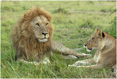 King Loki & his Queen! (Wild Pixels Safaris) Tags: kinglokihisqueen kilosabapride lion malelion lioness lionpride lionking lions kinglion kingofthejungle kingloki animal mammal wildlife africanwildlife wildafrica wildanimal wildcats wildlifephotography carnivore predator hunter safari gamedrive outdoors outofafrica nature naturephotography savannahplains sunrise bigpussycat bigfive cat pantheraleo kingofthesavannah masaimara maasaimaragamereserve kenya macswildpixels wildpixelsafaris munibachaudry