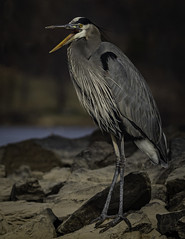 2I1A6060 (lfalterbauer) Tags: canon 7dmarkii nature wildlife ornithology avian dslr camera outdoor lake digital