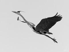 Héron light (Eric Leroy Olympus Passion OMD & Pen) Tags: olympus omd em1 em5 mkii mkiii zuiko noir blanc white black wildlife wwwolympuspassionfr