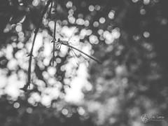 Leste vert (Eric Leroy Olympus Passion OMD & Pen) Tags: olympus omd em1 em5 mkii mkiii zuiko noir blanc white black wildlife wwwolympuspassionfr