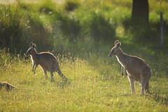 Little group of kangaroo's (iorus and bela) Tags: grampians victoria australia australie camping roadtrip iorus bela 2019 december kangaroo emoe trees