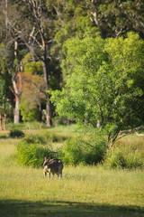 He goes to the gym (iorus and bela) Tags: grampians victoria australia australie camping roadtrip iorus bela 2019 december kangaroo emoe trees