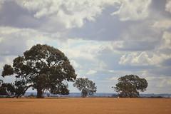 Massive trees (iorus and bela) Tags: grampians victoria australia australie camping roadtrip iorus bela 2019 december kangaroo emoe trees