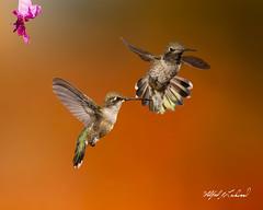 Anna's Hummingbird_T3W6401_6409 (Alfred J. Lockwood Photography) Tags: alfredjlockwood nature wildlife birdsinflight annashummingbird morning summer composite sedona arizona