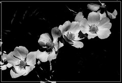 Anemony B&W. (andrzejskałuba) Tags: poland polska pieszyce dolnyśląsk silesia sudety europe plant plants macro monochrome natura nature natural natureshot natureworld nikoncoolpixb500 naturephotographer nopeople beautiful beauty biały beautyofnature black cień czarny garden ogród outdoor kwiat kwiaty flower flora floral flowers focusonforeground day anemon anemone anemones anemony white wiosna shadow spring 1000v40f 1500v60f