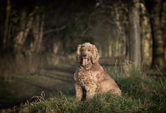 Fudge 2020 (Anthony_Murray) Tags: cocker spaniel english phoenix park forest dublin