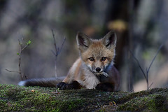 FoxCubWithMorsel1Smaller (2) (Rich Mayer Photography) Tags: fox cub cubs foxes kit animal animals nature wild life wildlife nikon
