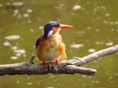 Malachite Kingfisher /  Kuifkopvisvanger (Pixi2011) Tags: kingfisher birds krugernationalpark southafrica africa wildbirds nature