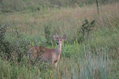 Deer (Randy R...) Tags: d7500 deer whitetaildeer mammal nikon omaha ngc