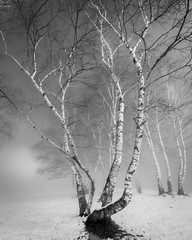 Lonely With Others (Daniele Pauletto) Tags: landscape tree blackandwhite bn bw fog