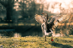 new day (bjdewagenaar) Tags: photography photograph photographer photooftheday sony sonyalpha sonyphotographer sonyimages sonya sonya7riii sonygm sonygmaster 85mm f14 primelens fullframe mirrorless goose animal nature gorinchem gorcum dutch holland sun raw lightroom dof bokeh
