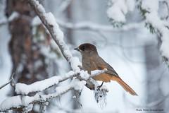 Siberian Jay! (petergranström) Tags: approved jay siberian lavskrika bird fågel branch gren twig kvist träd tree snow snö