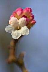Snowball Tree (pstenzel71) Tags: natur pflanzen sträucher snowballtree winterschneeball viburnum snowball darktable flower bokeh ilce7rm3 sel90m28g