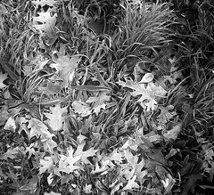 And more frozen leaves (mkk707) Tags: film 35mmfilm vintagefilmcamera vintagelens germancameras analog rangefinder zeissikontenaxii carlzeissjenatessar204cm agfaapx100 wwwmeinfilmlabde leaves blackwhite frost